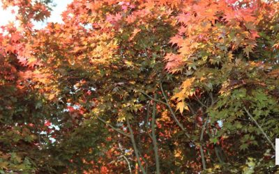 Maple trees at Weymouth with autumn leaves