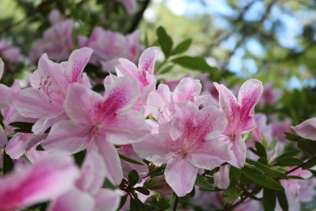 light pink azaleas