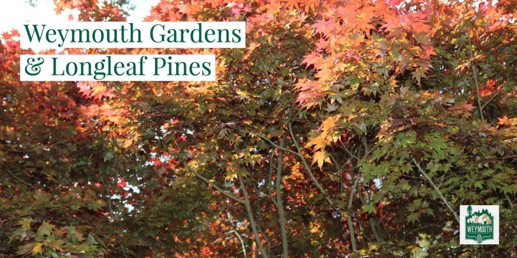 maple trees in orange leaves