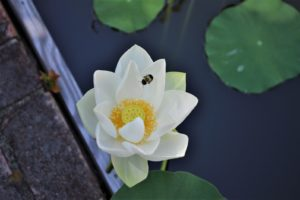 pond lotus bee 1