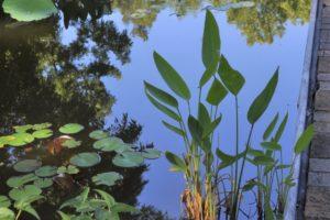 pond midsummer 1